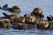 Sea Otter (Enhydra lutris) raft, Monterey Bay, California  -  Suzi Eszterhas