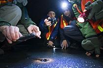 Santa Cruz Long-toed Salamander (Ambystoma macrodactylum croceum) researchers looking at and measuring individual migrating to upland habitat, Aptos, Monterey Bay, California  -  Sebastian Kennerknecht