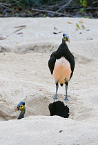 Maleo (Macrocephalon maleo) pair, one in dug out nest, Sulawesi, Indonesia  -  Kevin Schafer/ AITo