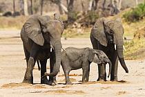 African Elephant (Loxodonta africana) juveniles and calf drinking from holes they have dug, Ruaha National Park, Tanzania  -  Konrad Wothe