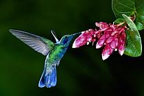 Green Violet-ear (Colibri thalassinus) hummingbird feeding on Heath (Cavendishia complectens) flowers, cloud forest, Costa Rica  -  Michael & Patricia Fogden
