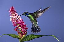 Green Violet-ear (Colibri thalassinus) hummingbird feeding, pollinating epiphytic orchid flower, cloud forest ecosystem, Costa Rica  -  Michael & Patricia Fogden