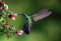 Green Violet-ear (Colibri thalassinus) hummingbird feeding and pollinating flowers of epiphytic Heath (Cavendishia capitulata), Monteverde Cloud Forest Reserve, Costa Rica  -  Michael & Patricia Fogden