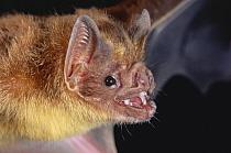 Vampire Bat (Desmodus rotundus) portrait, Costa Rica  -  Michael & Patricia Fogden