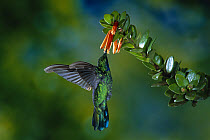 Green Violet-ear (Colibri thalassinus) hummingbird feeding at and pollinating flowers of epiphytic Heath (Macleania insignis), Monteverde Cloud Forest Reserve, Costa Rica  -  Michael & Patricia Fogden
