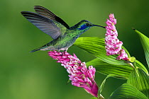 Green Violet-ear (Colibri thalassinus) hummingbird feeding at and pollinating epiphytic Orchid (Elleanthus sp), Costa Rica  -  Michael & Patricia Fogden