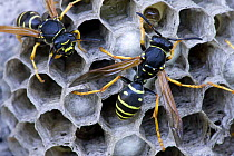 European Paper Wasp (Polistes dominulus) pair at nest, Frankrijk, France  -  John van den Heuvel/ Buiten-beel