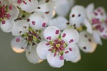 Singleseed Hawthorn (Crataegus monogyna) flowers, Vlaanderen, Belgium  -  Wouter Pattyn/ Buiten-beeld
