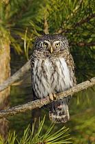 Eurasian Pygmy-owl (Glaucidium passerinum) male, Oulu, Finland  -  Dirk-Jan van Unen/ Buiten-beeld