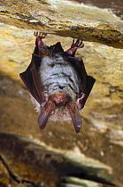 Bechstein's Bat (Myotis bechsteinii) hibernating in a slate cave, Belgium  -  Karl Van Ginderdeuren/ Buiten-be