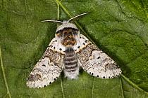 Sallow Kitten (Furcula furcula) moth, Groningen, Netherlands  -  Jaap Schelvis/ Buiten-beeld