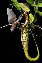 Hardwicke's Woolly Bat (Kerivoula hardwickii) arriving at Pitcher Plant (Nepenthes hemsleyana) pitcher to roost, Brunei  -  Ch'ien Lee
