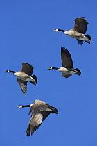 Canada Goose (Branta canadensis) group flying, central Montana  -  Donald M. Jones