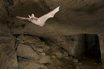 Bechstein's Bat (Myotis bechsteinii) flying in a limestone quarry, Belgium  -  Paul van Hoof/ Buiten-beeld