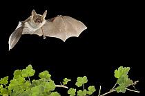 Bechstein's Bat (Myotis bechsteinii), Belgium  -  Paul van Hoof/ Buiten-beeld