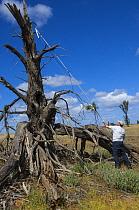 Major Mitchell's Cockatoo (Lophochroa leadbeateri) researcher surveying nest cavities for eggs using video camera, Murray-Sunset National Park, Victoria, Australia  -  D. Parer & E. Parer-Cook