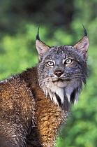 Canada Lynx (Lynx canadensis), native to North America  -  Roland Seitre