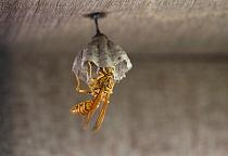 Paper Wasp (Polistes olivaceus) building nest, Hong Kong  -  Thijs van den Burg/ NIS