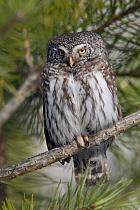 Eurasian Pygmy-owl (Glaucidium passerinum), Oulu, Finland  -  Erik van Velden/ NiS