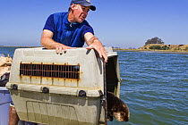 Sea Otter (Enhydra lutris) male being released by Karl Mayer as part of the Sea Otter Program, Elkhorn Slough, Monterey Bay, California  -  Sebastian Kennerknecht