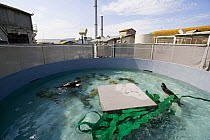 Sea Otter (Enhydra lutris) trio that was rescued swimming in seclusion tank, Monterey Bay Aquarium, Monterey Bay, California  -  Sebastian Kennerknecht