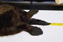 Sea Otter (Enhydra lutris) being measured before undergoing surgery, Monterey Bay Aquarium, Monterey Bay, California  -  Sebastian Kennerknecht