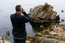 Sea Otter (Enhydra lutris) researcher Karl Mayer looking at stranded otter to see if it needs rescuing, Monterey, Monterey Bay, California  -  Sebastian Kennerknecht