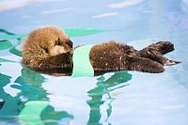 Sea Otter (Enhydra lutris) rescued pup wrapped in fake kelp while floating in holding tank, Monterey Bay Aquarium, Monterey Bay, California  -  Sebastian Kennerknecht