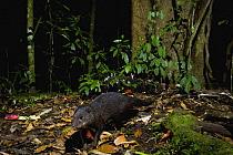 Marsh Mongoose (Atilax paludinosus) in rainforest at night, Kibale National Park, western Uganda  -  Sebastian Kennerknecht