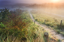 Singleseed Hawthorn (Crataegus monogyna) berries and path at morning, Noord-Holland, Netherlands  -  Pim Leonards/ BIA