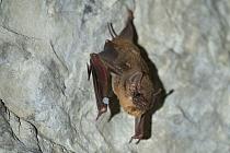 Black-bearded Tomb Bat (Taphozous melanopogon) roosting, Siem Reap, Cambodia  -  Roland Seitre