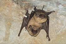 Black-bearded Tomb Bat (Taphozous melanopogon) pair roosting, Siem Reap, Cambodia  -  Roland Seitre