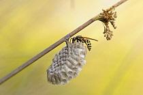 European Paper Wasp (Polistes dominulus) at nest on Soft Rush (Juncus effusus), Burgundy, France