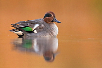 Common Teal (Anas crecca) male, Zuid-Holland, Netherlands