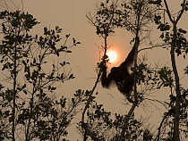 Orangutan (Pongo pygmaeus) sub-adult male in trees in haze caused by forest clearing, West Kalimantan, Borneo, Indonesia. October, 2015