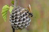 Wasp (Polistes biglumis) on nest, Limburg, Netherlands