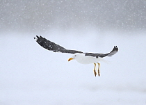 Lesser Black-backed Gull (Larus fuscus) flying during snowfall, Oulu, Finland