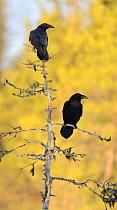 Common Raven (Corvus corax) pair, Oulu, Finland