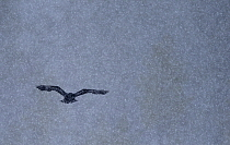 Common Raven (Corvus corax) flying during snowfall, Oulu, Finland