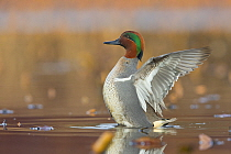 Common Teal (Anas crecca) male stretching wings, central Montana