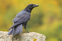 Common Raven (Corvus corax), Castile-Leon, Spain