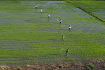 Rice (Oryza sp) field and workers, Guyana