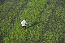 Rice (Oryza sp) field and worker, Guyana