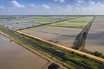Rice (Oryza sp) fields, Guyana