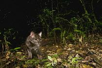 African Golden Cat (Caracal aurata) grey morph sub-adult male in rainforest, Kibale National Park, western Uganda