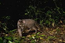 African Golden Cat (Caracal aurata) grey morph male in rainforest, Kibale National Park, western Uganda