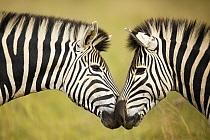 Burchell's Zebra (Equus burchellii) pair nuzzling, Rietvlei Nature Reserve, South Africa