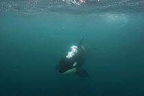 Orca (Orcinus orca) blowing bubbles, Hokkaido, Japan