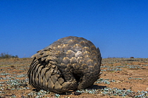 Cape Pangolin (Manis temminckii) rolling up into defensive posture, Limpopo, South Africa