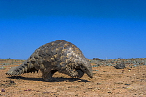 Cape Pangolin (Manis temminckii) walking, Limpopo, South Africa